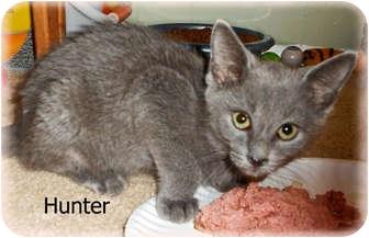 Russian Blue Kitten for adoption in Brighton, Michigan - Hunter