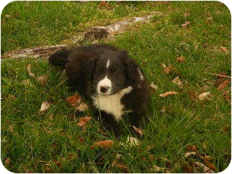 Collie/Great Pyrenees Mix Puppy for adoption in Hartford, Connecticut - Corey