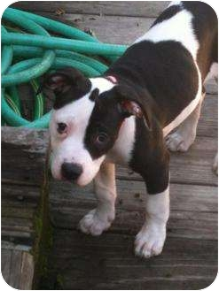 American Staffordshire Terrier Puppy for adoption in Sacramento, California - Tiny,sweetest lil girl