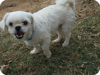 Maltese Mix Dog for adoption in Williston, Vermont - Conti