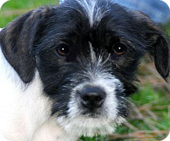 "Terrier (Unknown Type, Small) Mix Puppy for adoption in Wakefield, Rhode Island - COLT(TINY ""SCRUFFY LITTLE PUP"