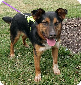 Australian Cattle Dog/Shepherd (Unknown Type) Mix Dog for adoption in Richmond, Virginia - Starsky