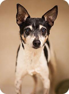 Chihuahua Mix Dog for adoption in Dallas, Texas - Astro