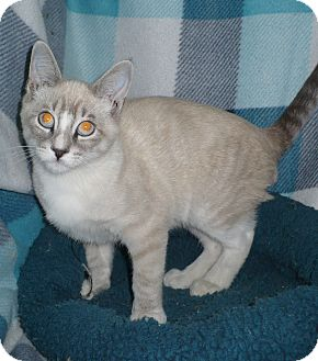 Snowshoe Kitten for adoption in Pueblo West, Colorado - Lancellott