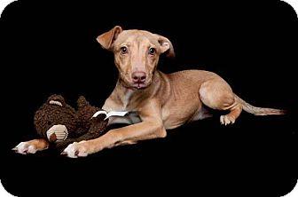 Labrador Retriever/Whippet Mix Dog for adoption in Waterbury, Connecticut - SAMI