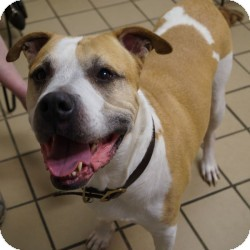 Staffordshire Bull Terrier Mix Dog for adoption in Eatontown, New Jersey - Samson