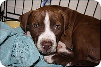 American Pit Bull Terrier Mix Puppy for adoption in Sunnyvale, California - Bali