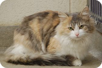 Maine Coon Cat for adoption in Bucyrus, Ohio - Slinky