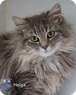 Maine Coon Cat for adoption in Merrifield, Virginia - Helga