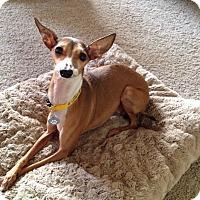 Adopt A Pet :: Winston in Austin area - Argyle, TX