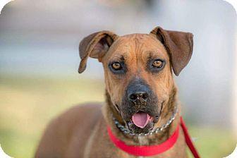 Mastiff Mix Dog for adoption in Irvine, California - EVA