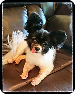 Papillon Dog for adoption in Nationwide, Maryland - Cotton (in Virginia)