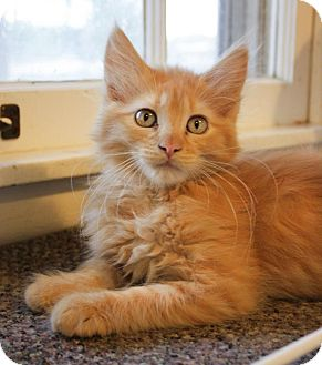 Maine Coon Kitten for adoption in Arlington, Virginia - Tango- Adoption Pending