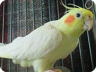 Cockatiel for adoption in Lloydminster, Alberta - Dot