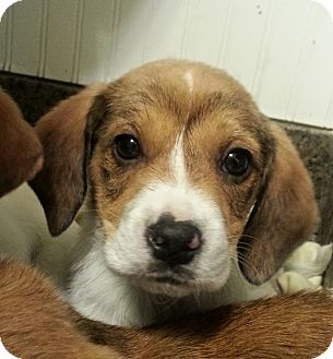 Beagle/Collie Mix Puppy for adoption in Chicago, Illinois - Seymour*ADOPTED!*