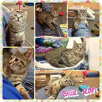 Domestic Shorthair Kitten for adoption in Winchester, Virginia - Billie Jean