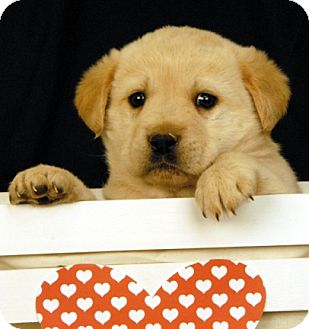 Labrador Retriever Mix Puppy for adoption in Newland, North Carolina - Dale