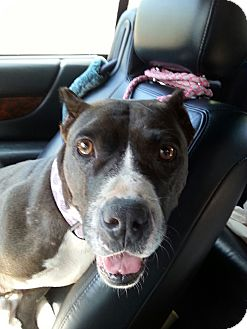 Pit Bull Terrier Mix Dog for adoption in Pompton Lakes, New Jersey - Bliss