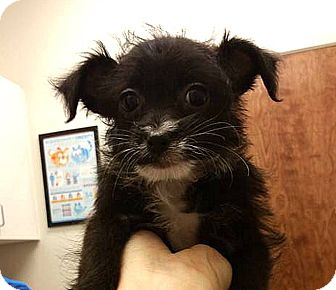 Poodle (Toy or Tea Cup) Mix Puppy for adoption in Tijeras, New Mexico - Beauty