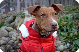 Pit Bull Terrier/Hound (Unknown Type) Mix Puppy for adoption in Pittsburgh, Pennsylvania - Tuco Salamanca
