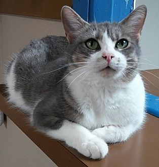 Domestic Shorthair Cat for adoption in Dallas, Texas - KRIS