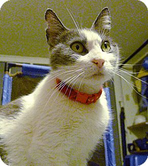 Domestic Shorthair Cat for adoption in Oakland, California - Mississippi