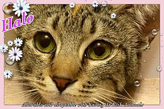 """Domestic Shorthair Cat for adoption in Tucson, Arizona - Halo - the happy """"torbyssinian"""