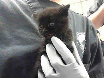 Domestic Mediumhair Kitten for adoption in Conroe, Texas - MAS