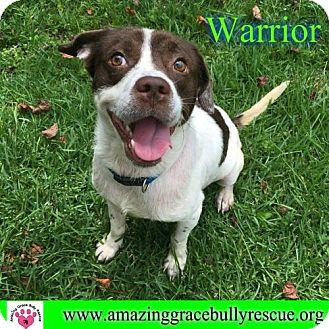 Brittany Mix Dog for adoption in Pensacola, Florida - Warrior