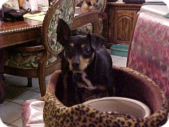 Toy Fox Terrier Dog for adoption in Cantonment, Florida - Molly