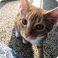Adopt A Pet :: Orville - Edinburg, PA