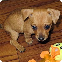 Chihuahua/Terrier (Unknown Type, Medium) Mix Puppy for adoption in Arlington, Virginia - Chewie