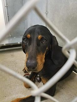 Black and Tan Coonhound Mix Dog for adoption in East Hartland, Connecticut - Penelope