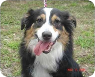 Australian Shepherd Dog for adoption in Orlando, Florida - Layla