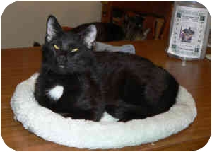 Domestic Shorthair Cat for adoption in St. James, Missouri - Crosseyed Joe