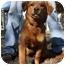 Photo 4 - Golden Retriever Mix Dog for adoption in Portland, Maine - Samson