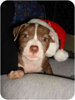 American Staffordshire Terrier Mix Puppy for adoption in East Rockaway, New York - Prancer