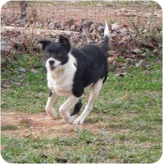 Border Collie Mix Dog for adoption in Foster, Rhode Island - Marilyn -- reduced to $300