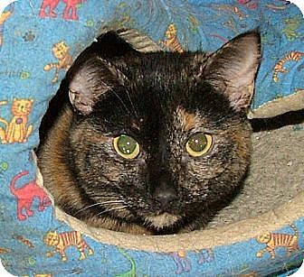 Domestic Shorthair Cat for adoption in Chattanooga, Tennessee - Dina