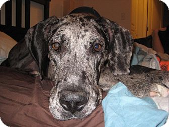 Great Dane Dog for adoption in Broomfield, Colorado - Willow