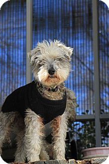 Miniature Schnauzer Dog for adoption in Bedford, Virginia - Mr. Chip
