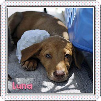 Collie/Rat Terrier Mix Dog for adoption in Corpus Christi, Texas - Luna