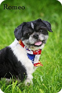 Shih Tzu Mix Dog for adoption in Albany, New York - Romeo
