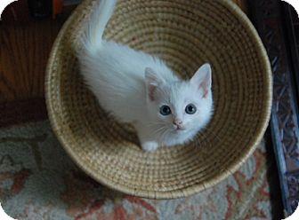 Domestic Shorthair Kitten for adoption in Hainesville, Illinois - Ella