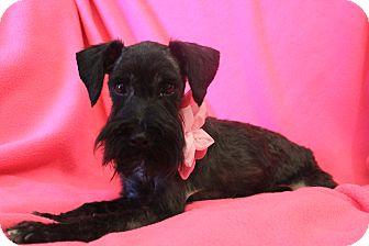 Schnauzer (Miniature) Dog for adoption in Hamburg, Pennsylvania - Layla