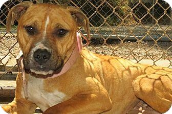 Terrier (Unknown Type, Medium)/Pit Bull Terrier Mix Dog for adoption in Brooklyn, New York - Mama