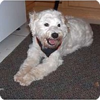 Adopt A Pet :: Poo - Clayton, OH