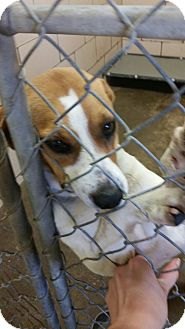Beagle Mix Dog for adoption in Gallipolis, Ohio - no name