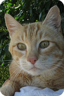 Domestic Shorthair Cat for adoption in Cardwell, Montana - Breining
