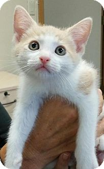 Domestic Shorthair Kitten for adoption in HILLSBORO, Oregon - Butter Pecan